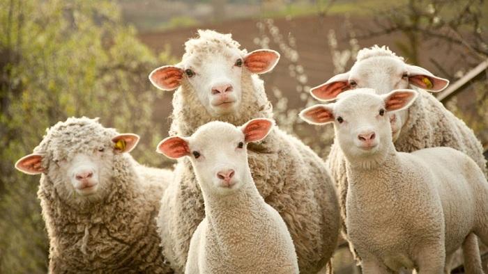 Internet in zonele rurale cu ajutorul oilor